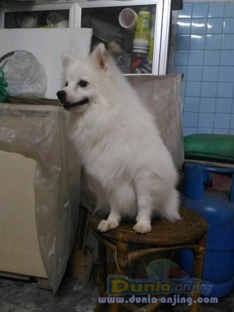 Jual Anjing Pomeranian  - Jual Pejantan Pomerian Snow White Istimewa Foto Utama