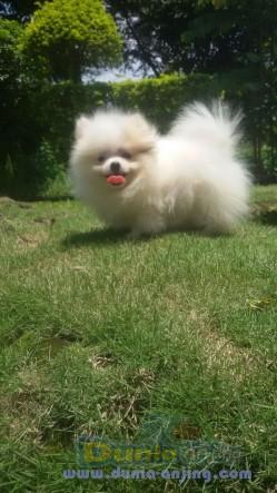 Jual Anjing Pomeranian  - Anakan Pomeranian Betina Foto Kedua
