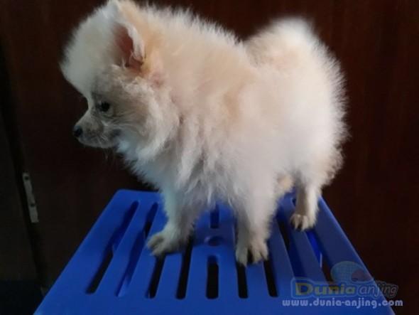 Jual Anjing Pomeranian  - 3 Puppy Pom Cream, 1betina 2jantan 1,7jt Perekor Foto Utama
