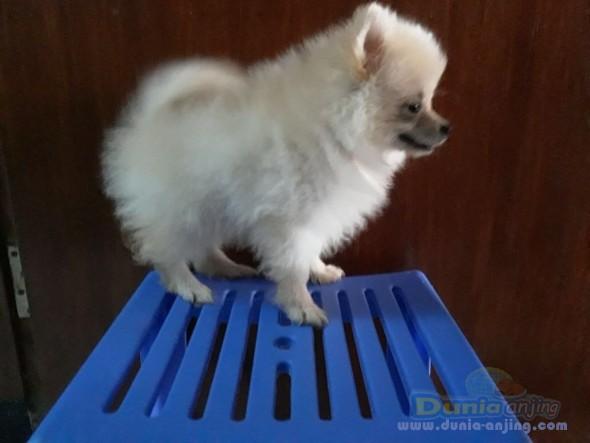 Jual Anjing Pomeranian  - 3 Puppy Pom Cream, 1betina 2jantan 1,7jt Perekor Foto Kedua