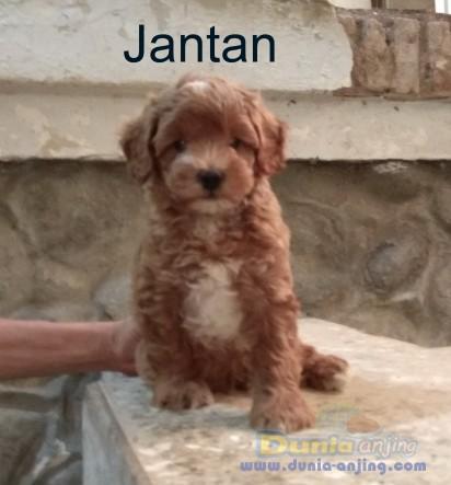 Jual Anjing Poodle  - Dijual Anakan Dan Indukan Red Poodle Non Stambum Foto Utama