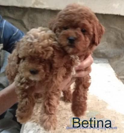 Jual Anjing Poodle  - Dijual Anakan Dan Indukan Red Poodle Non Stambum Foto Kedua