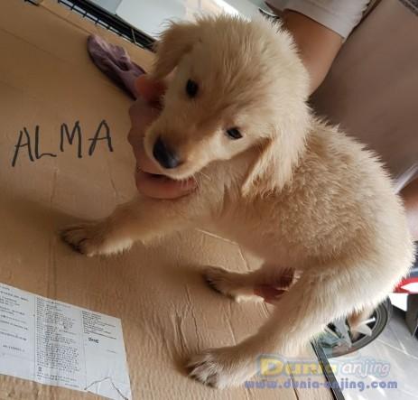 Jual Anjing Golden Retriever  - Di Jual Cepat Anakan Foto Utama