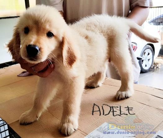 Jual Anjing Golden Retriever  - Di Jual Cepat Anakan Foto Kedua