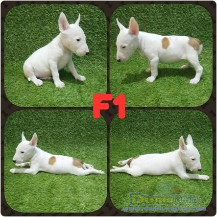 Jual Anjing Bull Terrier  - Jual Anak Anjing Bullterrier Foto Kedua