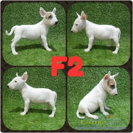 Jual Anjing Bull Terrier  - Jual Anak Anjing Bullterrier Foto Ketiga