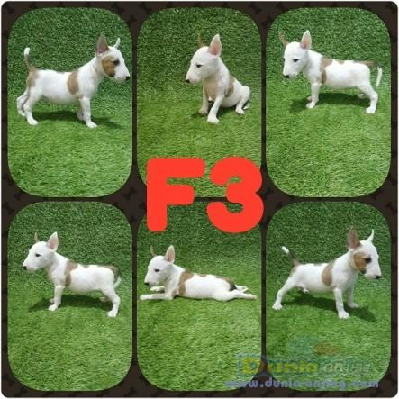 Jual Anjing Bull Terrier  - Jual Anak Anjing Bullterrier Foto Keempat