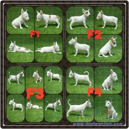 Jual Anjing Bull Terrier  - Jual Anak Anjing Bullterrier Foto Utama