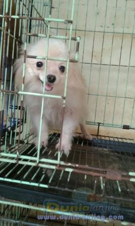 Jual Anjing Pomeranian  - Indukan Pom Cream 2thn Hrg 1,5jt Foto Utama