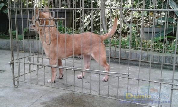 Jual Anjing Chihuahua  - Cihuahua Jantan 7bln Hrg 3jt Foto Kedua