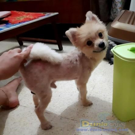Jual Anjing Pomeranian  - Jual Anjing Minipom Jantan SUPER MURAH Foto Utama