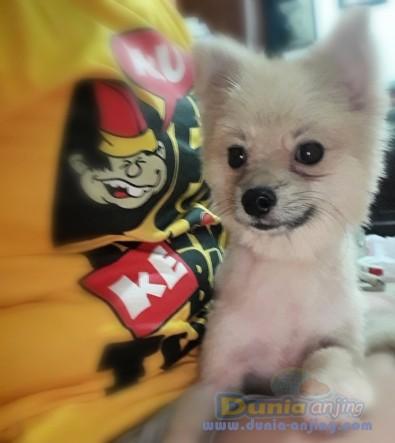 Jual Anjing Pomeranian  - Jual Anjing Minipom Jantan SUPER MURAH Foto Kedua