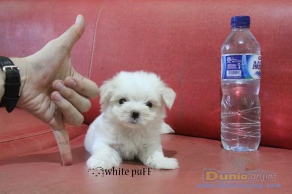 Jual Anjing Maltese  - MINI MALTESE PUPPIES VERY GOOD QUALITY Foto Utama