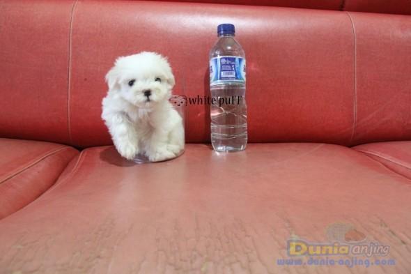 Jual Anjing Maltese  - MINI MALTESE PUPPIES VERY GOOD QUALITY Foto Kedua