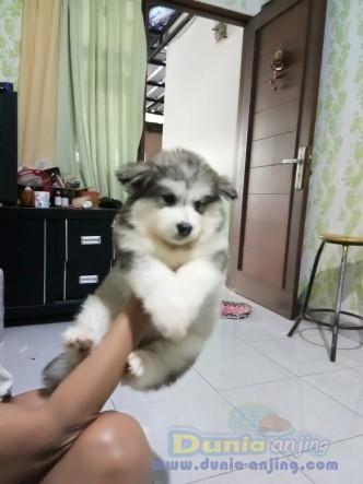 Jual Anjing Alaskan Malamute  - Puppy Alaskan Betina N Jantan @ 10jt Foto Utama
