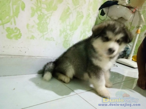 Jual Anjing Alaskan Malamute  - Puppy Alaskan Betina N Jantan @ 10jt Foto Kedua