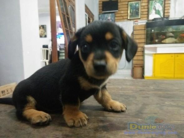 Jual Anjing Dachshund  - Anjing Tekel Hitam Foto Kedua