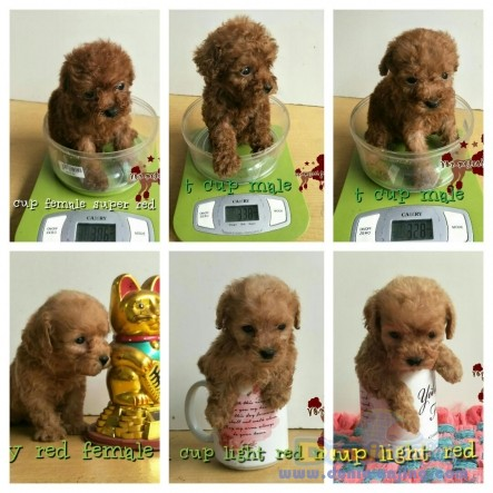 Jual Anjing Poodle  - Super Red Teh Cup Poodle Foto Kedua