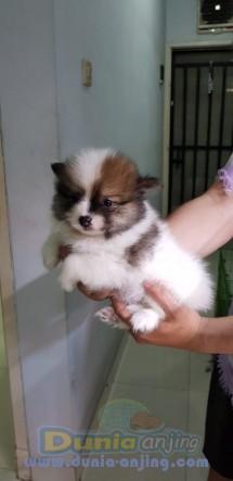 Jual Anjing Pomeranian  - Minipom 2bln Party Colour Foto Kedua
