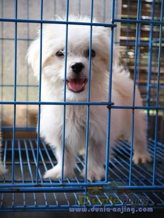 Jual Anjing Maltese  - Jual Anakan Maltese Betina 3 Bulan Foto Utama