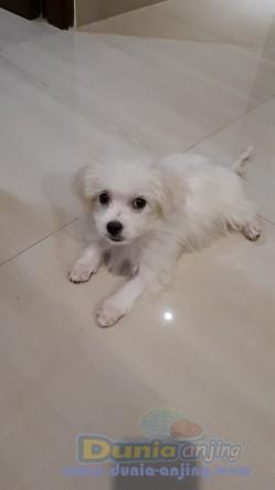 Jual Anjing Maltese  - Jual Anakan Maltese Betina 3 Bulan Foto Kedua