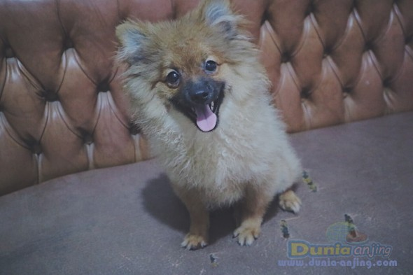 Jual Anjing Pomeranian  - Pomeranian Puppy Foto Utama
