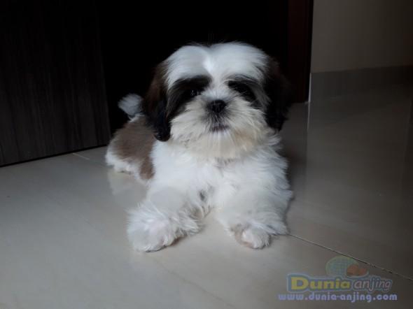 Jual Anjing Shih Tzu  - Jual Anakan Anjing Shih Tzu Female Foto Kedua
