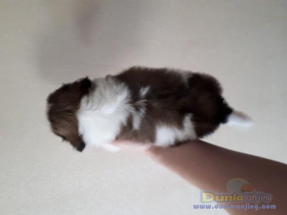 Jual Anjing Shih Tzu  - Jual Anakan Anjing Super Mini Shih Tzu Foto Utama