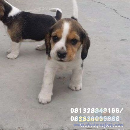 Jual Anjing Beagle  - Beagle No Stambum Kualitas Bagus Foto Utama