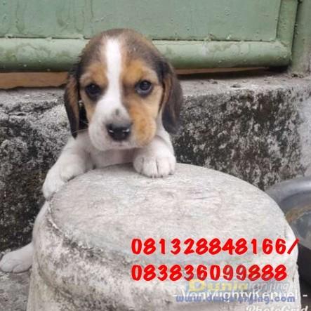 Jual Anjing Beagle  - Beagle No Stambum Kualitas Bagus Foto Kedua