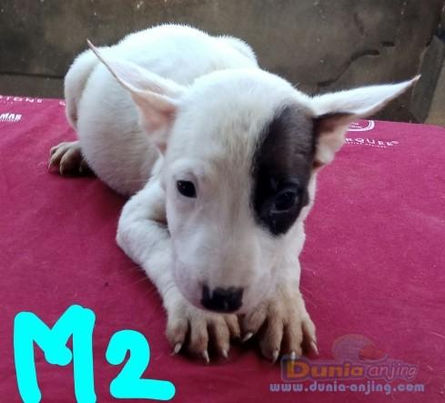 Jual Anjing Bull Terrier  - Anak Jantan & Betina Foto Utama