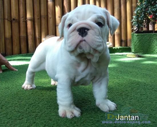 Jual Anjing Bulldog  - Dijual Bulldog Puppies Istimewa Foto Utama