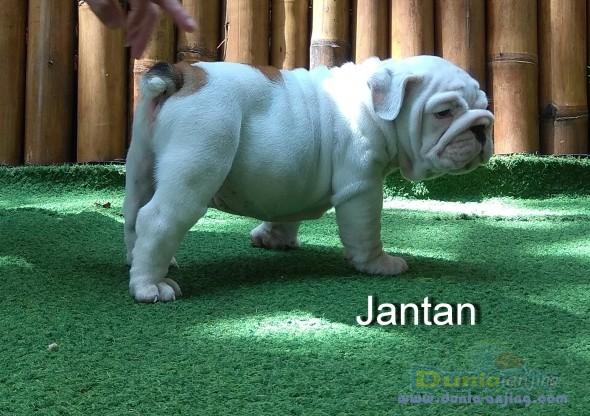 Jual Anjing Bulldog  - Dijual Bulldog Puppies Istimewa Foto Kedua
