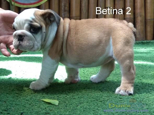 Jual Anjing Bulldog  - Dijual Bulldog Puppies Istimewa Foto Kelima
