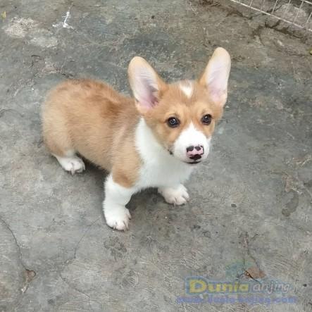 Jual Anjing Welsh Corgi  - Calon Pejantan Tangguh Welsh Corgi Stmb Vaksin Foto Kedua