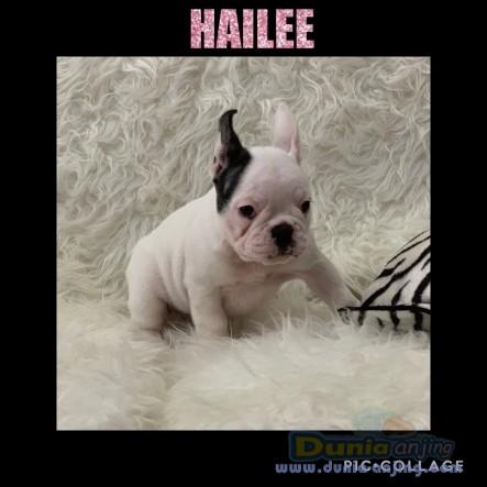 Jual Anjing French Bulldog  - Jual French Bulldog STAMBUM ! , VERY GOOD QUALITY Foto Kedua