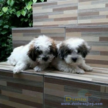 Jual Anjing Shih Tzu  - 2 Ekor Puppy Shihtzu Jantan Foto Utama