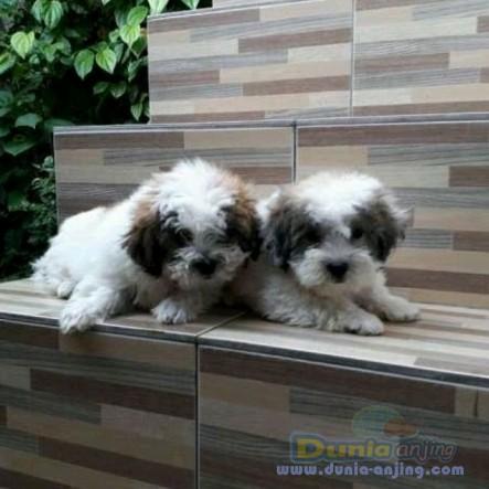 Jual Anjing Shih Tzu  - 2 Ekor Puppy Shihtzu Jantan Foto Kedua