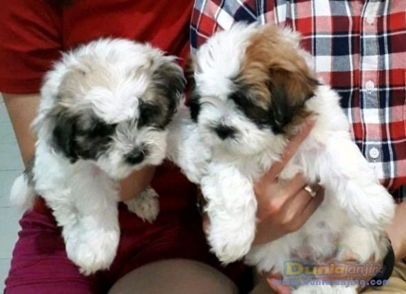 Jual Anjing Shih Tzu  - 2 Ekor Puppy Shihtzu Jantan Foto Keenam