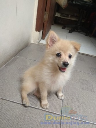 Jual Anjing Pomeranian  - Jual 3jt Puppy Pom Betina Kmplit Kandang, Kasur Foto Utama