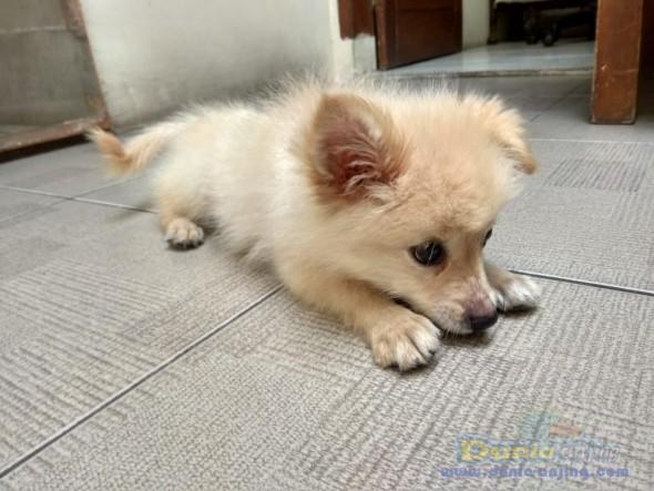 Jual Anjing Pomeranian  - Jual 3jt Puppy Pom Betina Kmplit Kandang, Kasur Foto Kedua