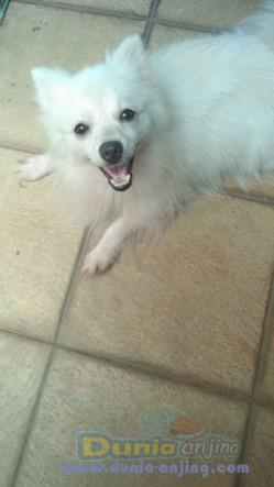 Jual Anjing Pomeranian  - Jual Cepat Pom Jantan 11bln Wrna Putih 1,5jt Saja  Foto Utama