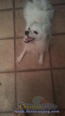 Jual Anjing Pomeranian  - Jual Cepat Pom Jantan 11bln Wrna Putih 1,5jt Saja  Foto Kedua