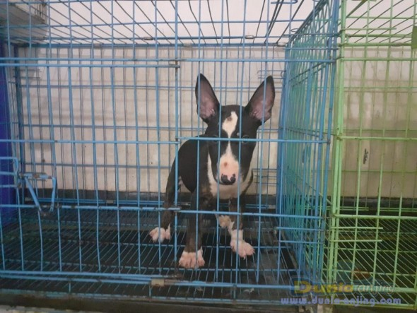 Jual Anjing Bull Terrier  - 5 Ekor Puppies Bull Terrier 2 Jantan 3 Betina Foto Utama