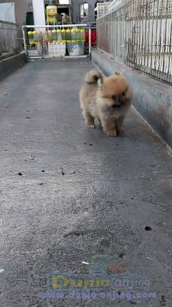 Jual Anjing Pomeranian  - Minipom Jantan 2bln Foto Utama
