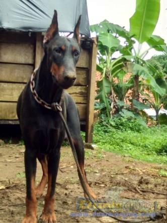 Jual Anjing Doberman Pinscher  - Indukan Doberman Mantap Foto Utama