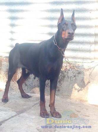 Jual Anjing Doberman Pinscher  - Indukan Doberman Mantap Foto Kedua