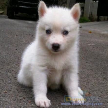 Jual Anjing Siberian Husky - Husky White Stamboom Warna Langka!! Foto