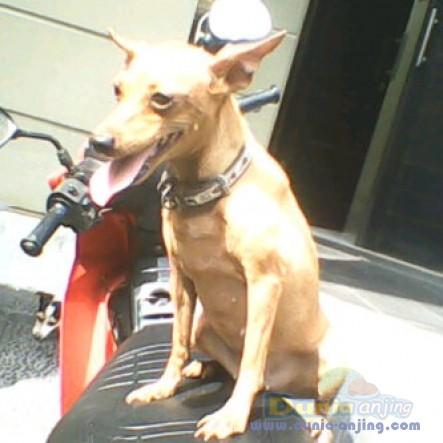 Jual Anjing Miniature Pinscher  - Jual 1 Ekor Indukan Mini Pincsher 5thn,stanbum,JKT Foto Utama