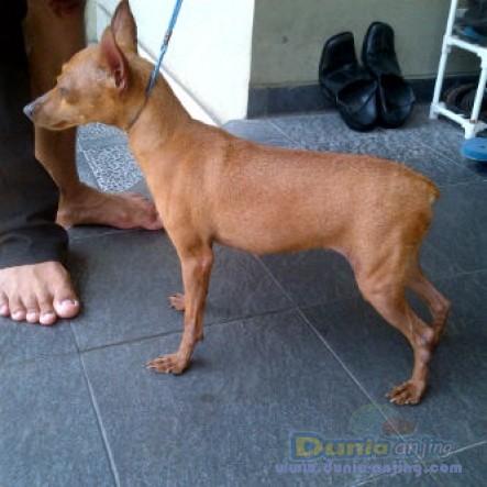 Jual Anjing Miniature Pinscher  - Jual 1 Ekor Indukan Mini Pincsher 5thn,stanbum,JKT Foto Kelima